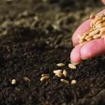 Аграрыі Петрыкаўшчыны мяркуюць пасеяць 17,5 тысячы гектараў яравых культур