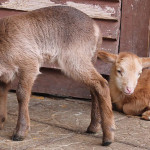 В Минском зоопарке в апреле родились 10 козлят и 5 ягнят