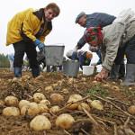 Хозяйства Гомельской области ведут выборочную уборку картофеля