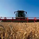 В Беларуси зерновые убраны более чем на 80% площадей