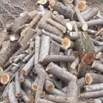 Минчанин незаконно спилил на дрова более 670 деревьев