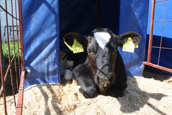 Жывёлаводы УП «Палессе-Аграінвест» надаілі з пачатку бягучага года па пяць тон малака на карову