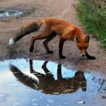 В Мозыре из-за нападения лисы пострадали 9 человек