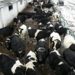 Трое парней воровали скот на фермах в Копыльском районе