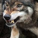 В Брагинском районе волк напал на людей