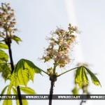 Каштаны, яблони и ландыш повторно зацвели в Брестской области